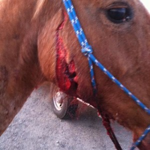 What do I do if my horse is cut?